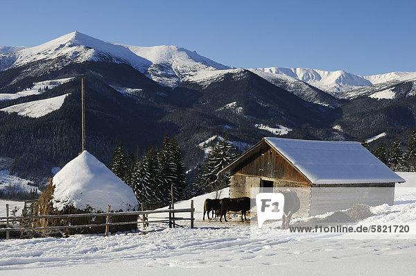 Vieh vor Hütte in Dzembronya Landschaft in der Ukraine-Karpaten