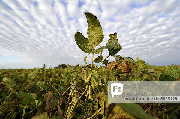 Soybean plants (Glycine max)ü soybean plantationü Argentinaü South America