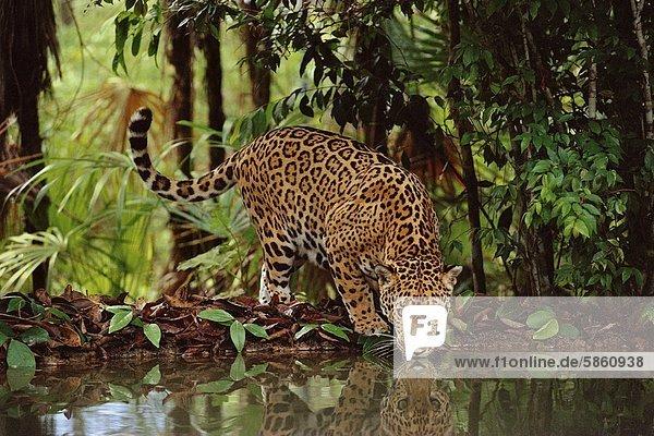 Trinkender Jaguar  Panthera onca  Belize
