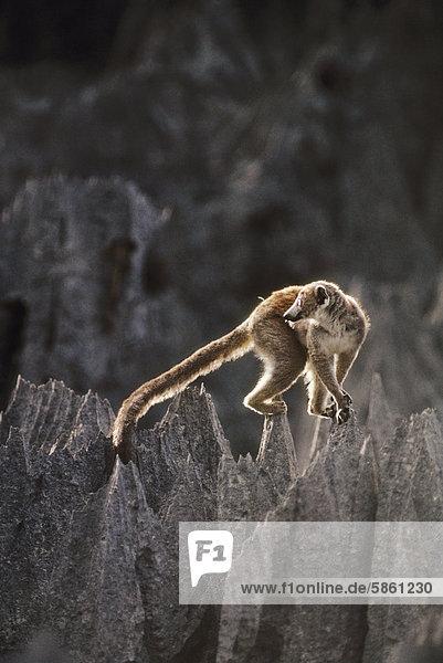 Gekrönte Lemur auf Kalkstein pinnacles  Eulemur Coronatus  Ankarana Reserve  Madagaskar