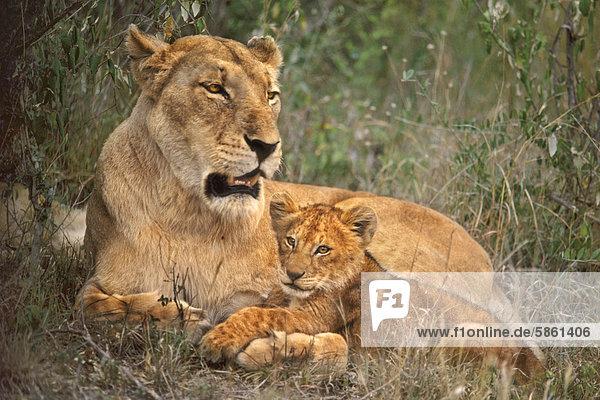 Lioness and cub  Panthera leo  Masai Mara Reserve  Kenya