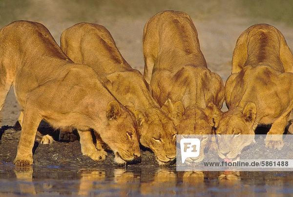 Trinkende Löwinnen  Panthera leo  Chobe-Nationalpark  Botswana