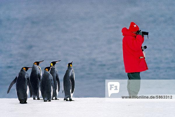 King Pinguine  Aptenodytes Patagonicus  betrachtet man als Tourist auf Südgeorgien