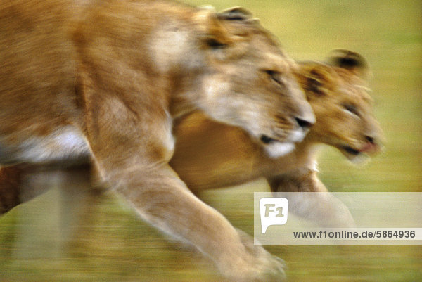 Afrikanische Löwin und Jungtier  Panthera leo  Masai Mara Reservat  Kenia