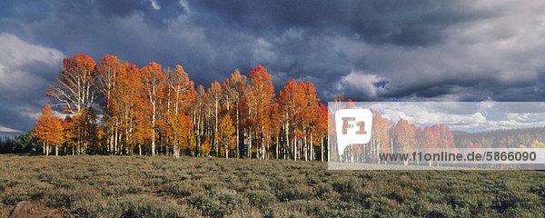 Espenbäume im Herbst  Dixie National Forest  Utah