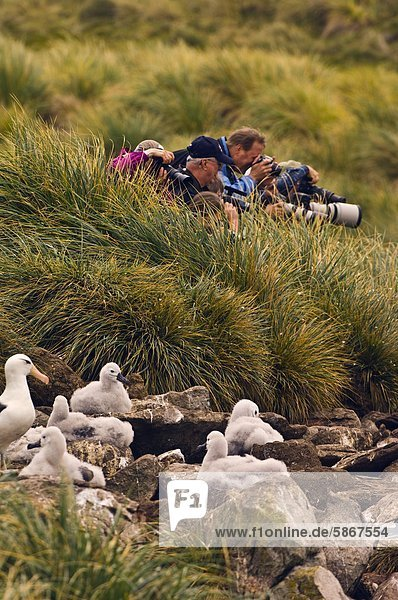 Tourists at edge of black browed albatross colony  Thalassarche melanophrys  West Point Island  Falkland Islands