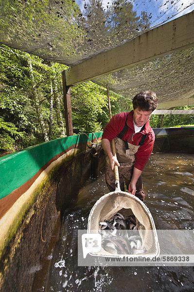 Fisch Pisces arbeiten Gefahr Lachs Silberlachs Oncorhynchus kisutch Monterey Bay Kalifornien