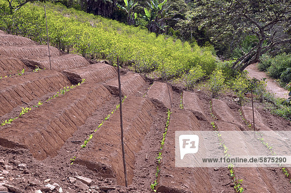 Field with coca bushes  partially ripe  some freshly planted  Coroico  Yungas  Bolivia  South America
