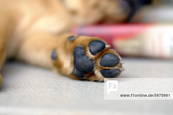 Pfote von blondem Labrador Retriever