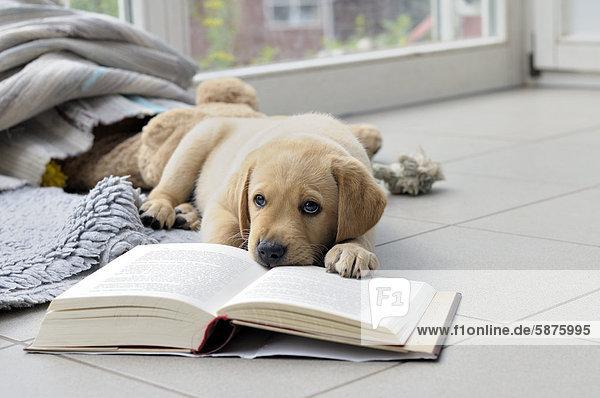 Junger blonder Labrador Retriever knabbert an Buch