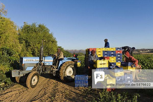 Melonenernte in Noordoewer  Namibia  Afrika