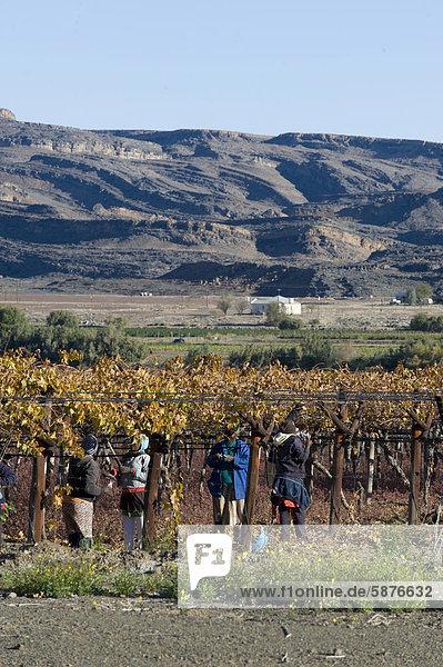 Feldarbeiter beschneiden Weinstöcke  Noordoewer  südliches Namibia  Afrika