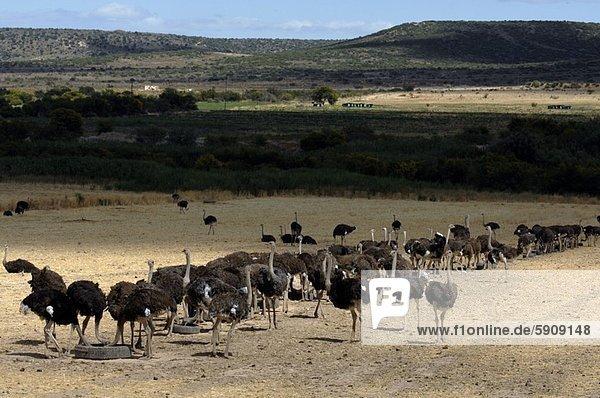 Südliches Afrika  Südafrika  Feld  Strauß  Struthiones  Western Cape  Westkap