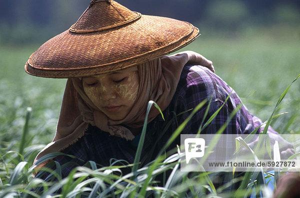 hoch  oben  nahe  Frau  ernten  Feld  Reis  Reiskorn  jung  Thailand