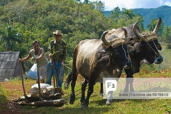 Rind-Karre mit Bauern  Vinales  Kuba  Westindische Inseln  Karibik  Mittelamerika