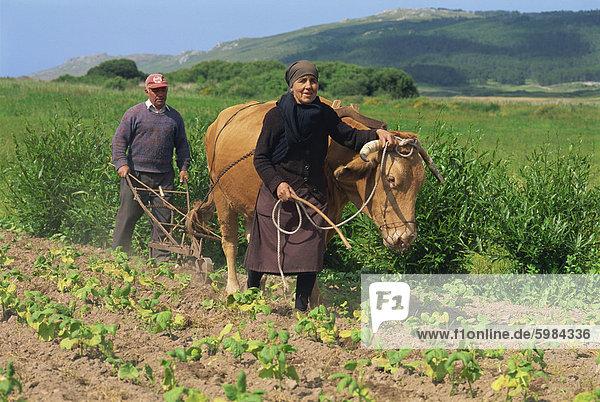 Altes Ehepaar mit einem Ochsen  Kleinbauern  Reihenabstand Pflege im Bereich der Bohnen in die Laxe Distrikt Galizien  Spanien  Europa