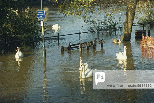 Swans  Schwimmen in der Straße während des Hochwassers von 1998  Worcester  Worcestershire  England  Vereinigtes Königreich  Europa