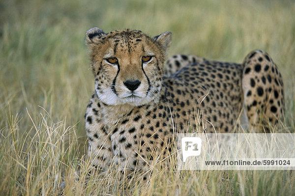 Unverlierbare Gepard (Acinonyx Jubatus)  Namibia  Afrika