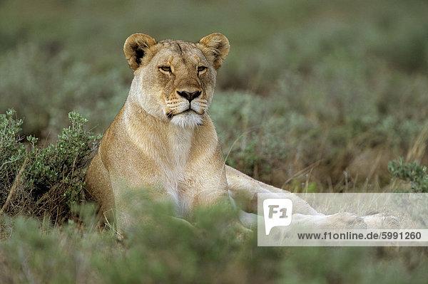 Lioness (Panthera leo)  Etosha  Namibia  Africa
