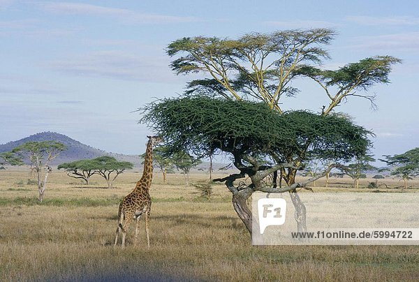 Giraffe  Serengeti Nationalpark  Tansania  Ostafrika  Afrika