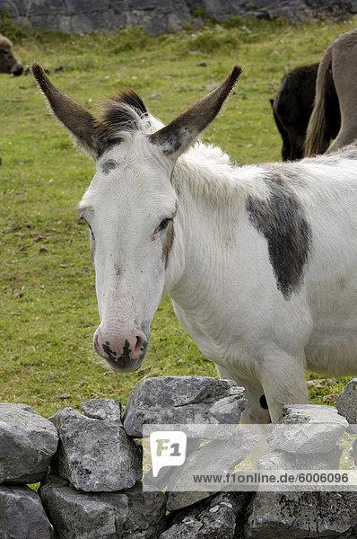 Donkeys on The Burren  County Clare  Munster  Republic of Ireland  Europe