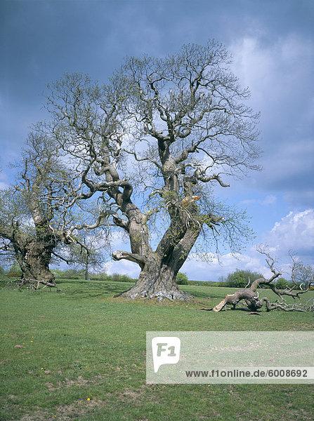 Alte süße Kastanienbaum  Croft Castle  Herefordshire  England  Vereinigtes Königreich  Europa