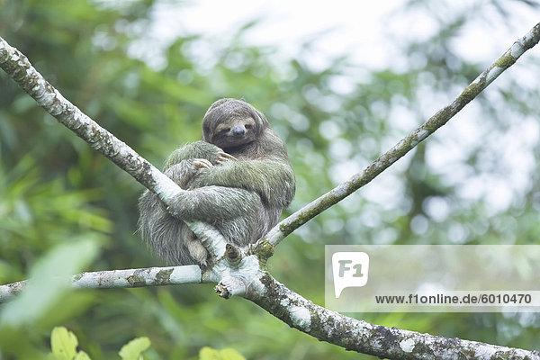Dreifinger - Faultiere (Bradypus Variegatus) sitzen auf einem Baum  Arenal  La Fortuna  Costa Rica  Mittelamerika Dreifinger - Faultiere (Bradypus Variegatus) sitzen auf einem Baum, Arenal, La Fortuna, Costa Rica, Mittelamerika