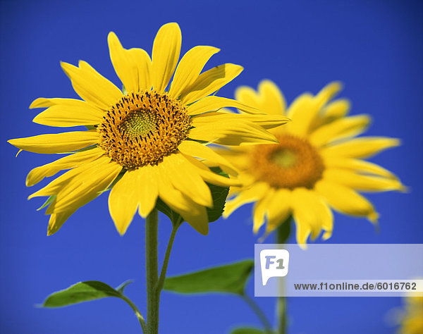 Close-up of sunflower in a field of flowers