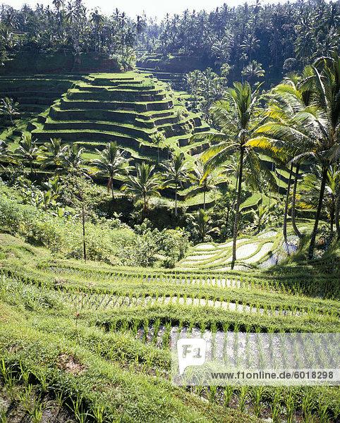 Reisterassen  Bali  Indonesien  Südostasien  Asien