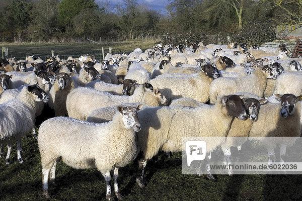 Flock of sheep  Welford on Avon  Warwickshire  England  United Kingdom  Europe