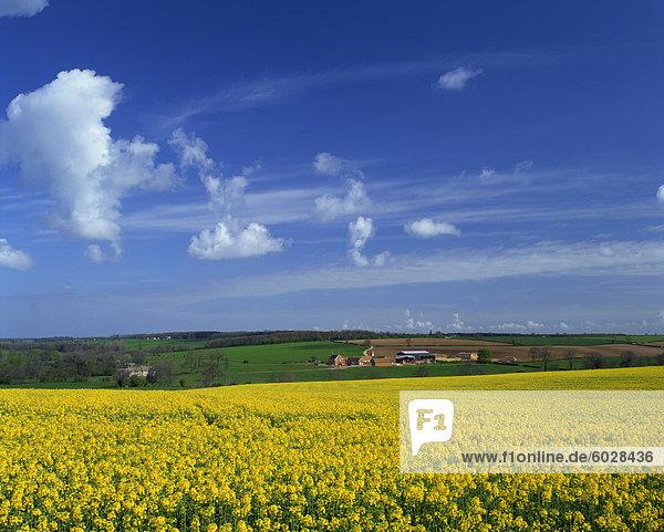 Rape seed field  Lincolnshire  England  United Kingdom  Europe