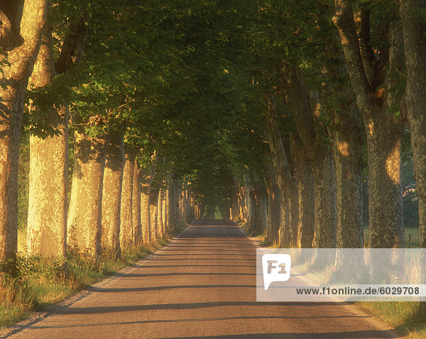 Tree lined road  Provence  France  Europe