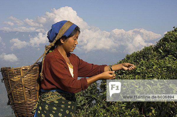 Frau Rupfen Tee bei Singtom Teegarten  Darjeeling  Westbengal Zustand  Indien  Asien