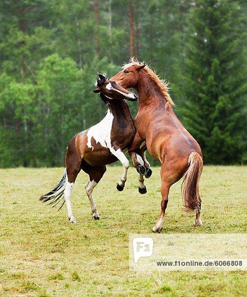 Zwei Pferde kämpfen