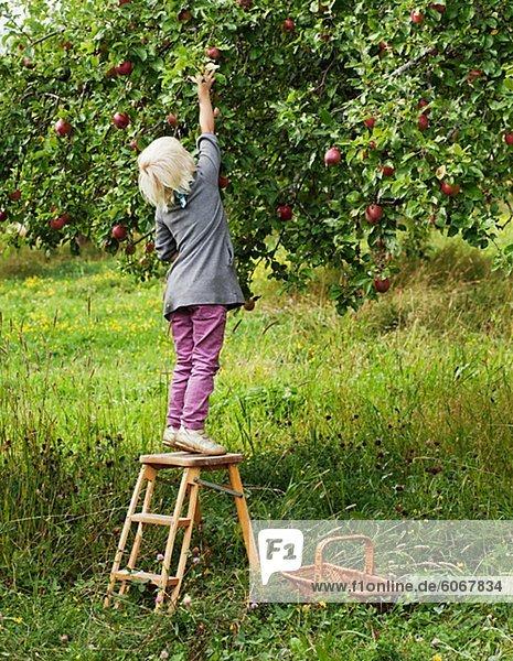 Blonde Mädchen pflücken Äpfel