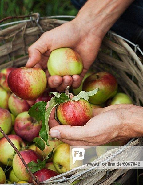 Mann Kommissionierung Äpfel
