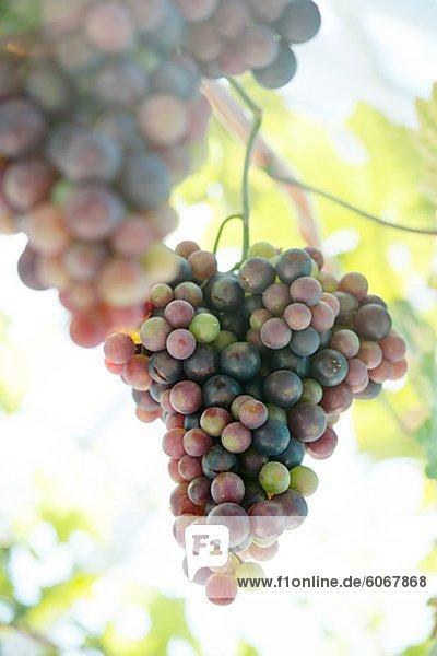 Nahaufnahme von Trauben am Weinstock Nahaufnahme von Trauben am Weinstock