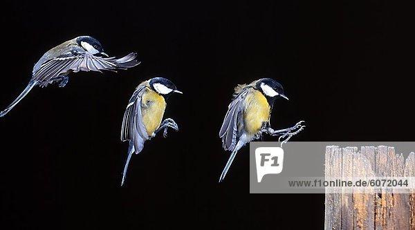 Kohlmeise (Parus major) im Landeanflug  Dreifachbelichtung