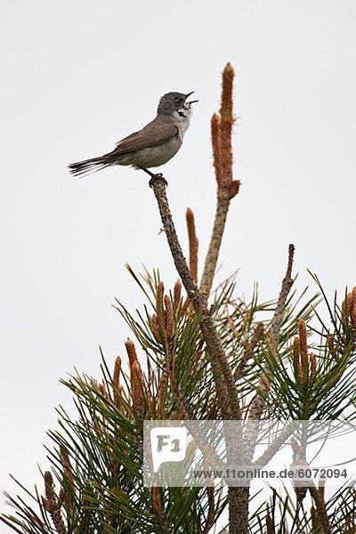 Vögel singen am Kiefer