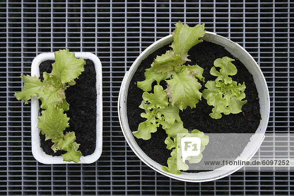 Germany,  Bavaria,  Cultivation of lettuce