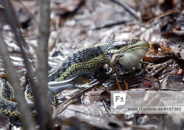 Ochsenfrosch  Rana catesbeiana  essen  essend  isst
