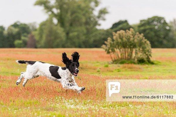 zeigen  Fortbewegung  rennen  Hund  5  Feld  jung  Cocker Spaniel  Cockerspaniel  englisch  Monat  alt