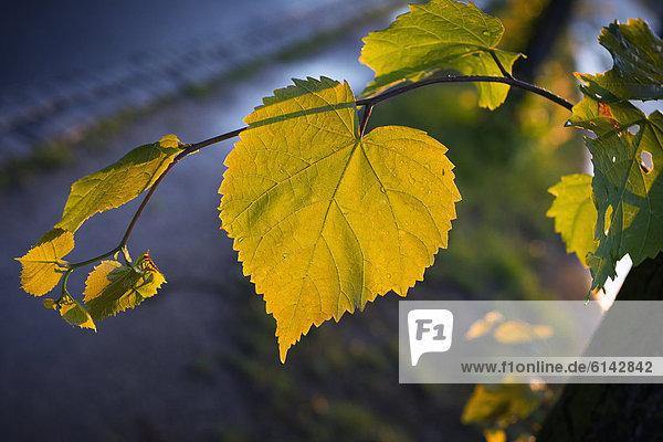 Lindenblatt mit Regentropfen in der Abendsonne Lindenblatt mit Regentropfen in der Abendsonne