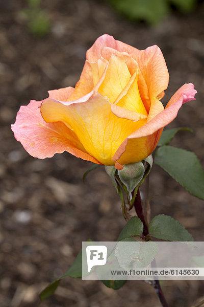 'Teehybrid-Rose  ''Ambassador'' (Rosa)  Westfalenpark  Dortmund  Ruhrgebiet  Nordrhein-Westfalen  Deutschland  Europa'