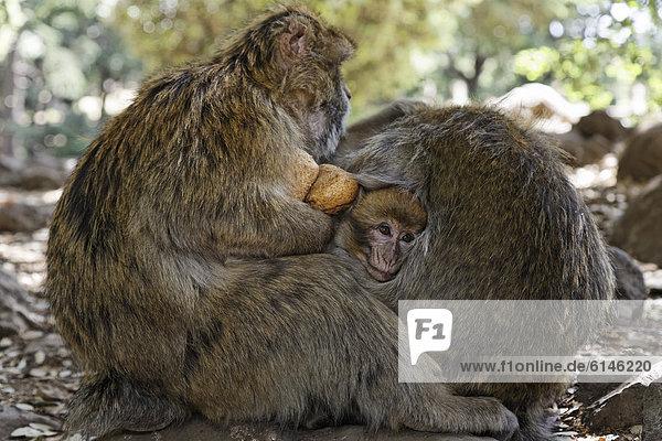 Young Barbary Macaque (Macaca sylvanus) huddling between his parents at the national park near Ifrane  MeknËs-Tafilalet  Morocco  North Africa  Maghreb  Africa