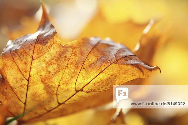 Herbstlich verfärbtes Blatt liegt im Sonnenlicht am Boden