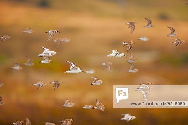 fliegen  fliegt  fliegend  Flug  Flüge  Himmel  Vogelschwarm  Vogelschar  Sanderling  calibris alba