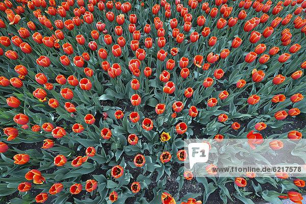 Rote Tulpen (Tulipa)  Hongshan Park  Seidenstraße  Xinjiang  China  Asien