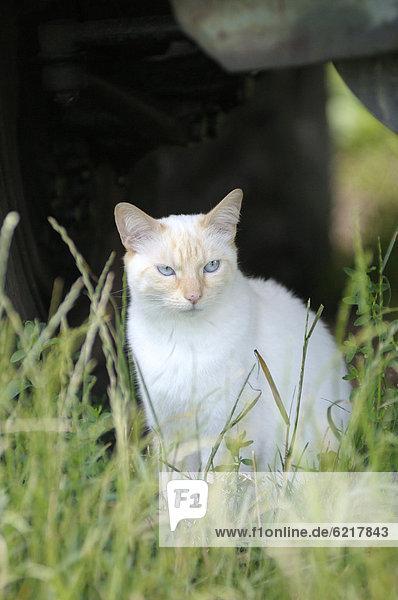 Thai-Katze sitzt im Gras unter Traktor