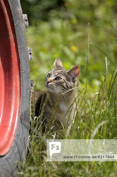 Getigerte Katze steht an einem Traktorreifen